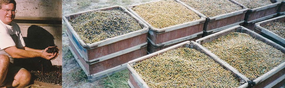 crates of harvested saw palmetto berries